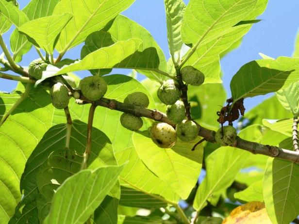 Ficus septica Copy of IMG_6353.JPG