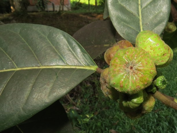 Ficus septica IMG_0001 - Copy.JPG