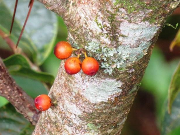 Ficus sinuata IMG_0118 - Copy.JPG