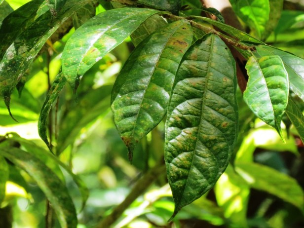 Ficus sinuata IMG_2840 - Copy.JPG