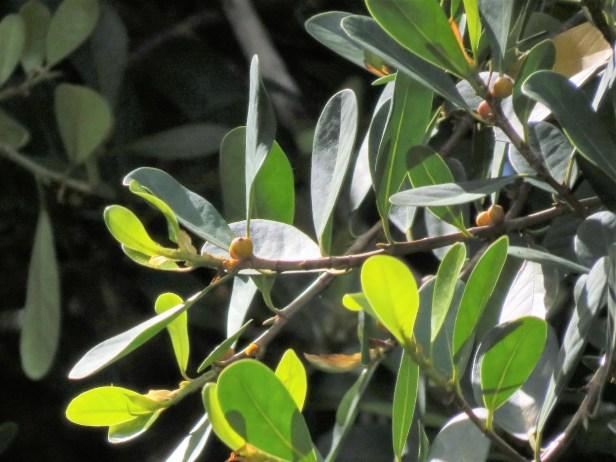 Ficus spathulifolia IMG_0054.JPG