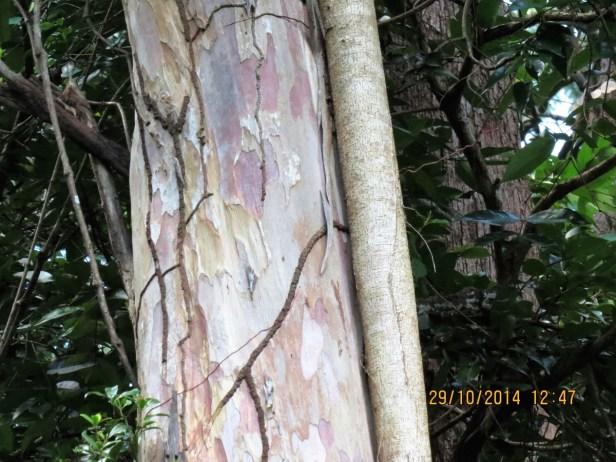 Ficus spathulifolia IMG_0077.JPG