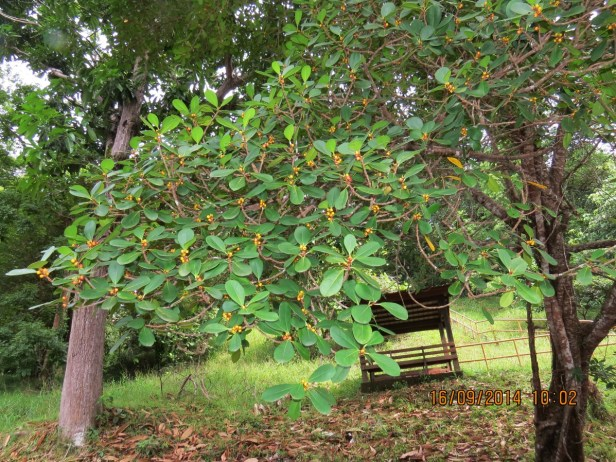 Ficus spathulifolia IMG_0282 - Copy.JPG