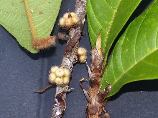 Ficus spiralis P0183822.JPG