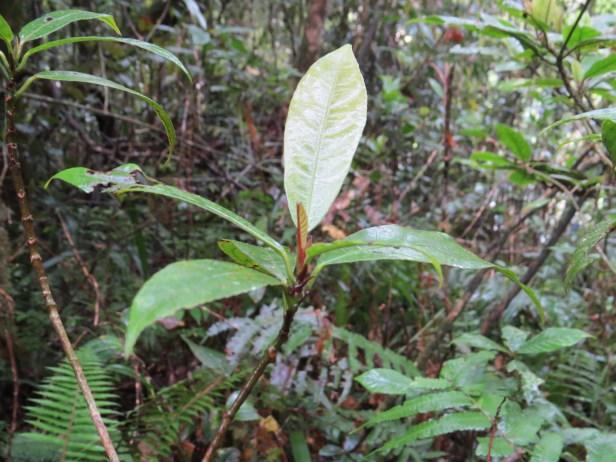 Ficus stolonifera IMG_1780 - Copy.JPG