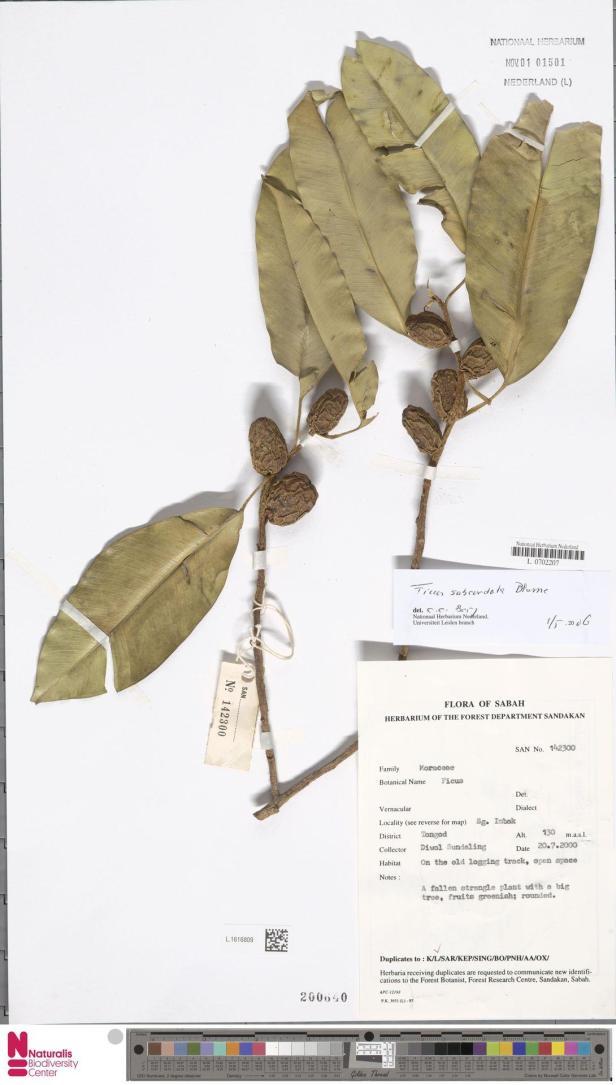 Ficus subcordata Imbak Naturalis.jpg