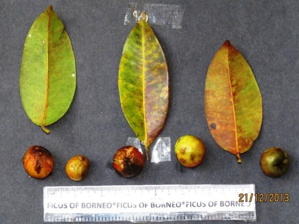 Ficus sumatrana IMG_6460 - Copy.JPG