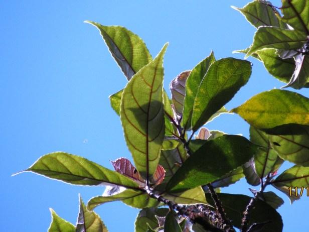 Ficus tarrenifolia IMG_2624.JPG