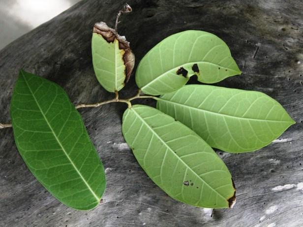 Ficus tinctoria IMG_2522 - Copy.jpg