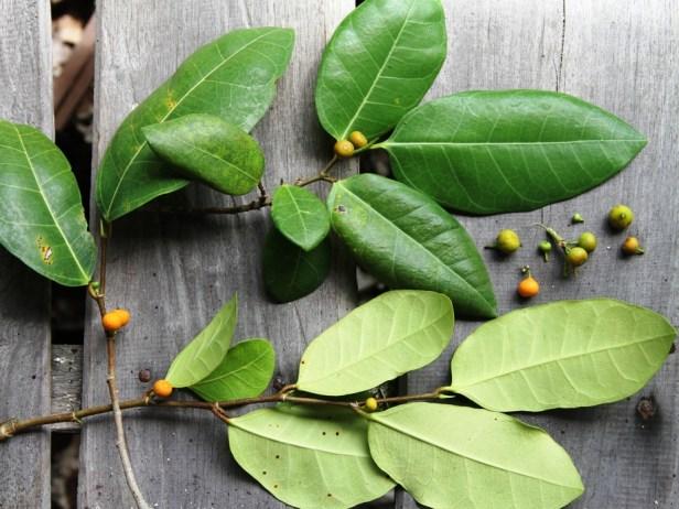 Ficus tinctoria IMG_9579.jpg