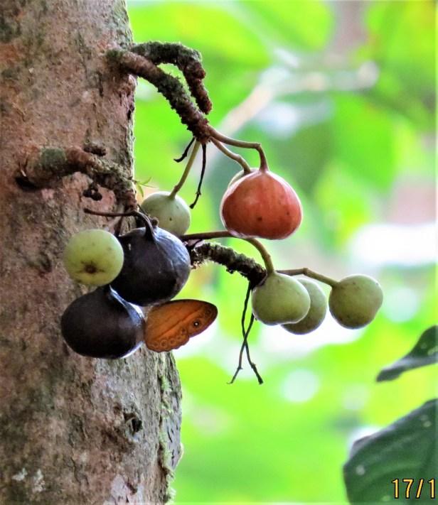 Ficus variegata IMG_4667.JPG
