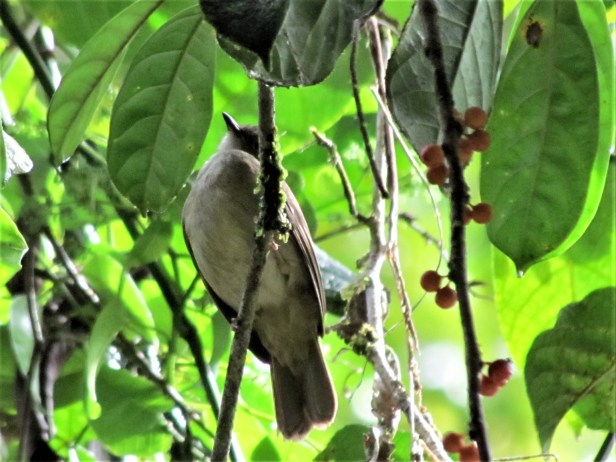 Red-eyed Brown Bulbul IMG_2859.JPG