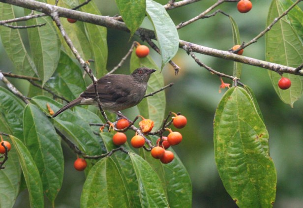 Red-eyed Bulbul on F parietalis Peter E.jpg