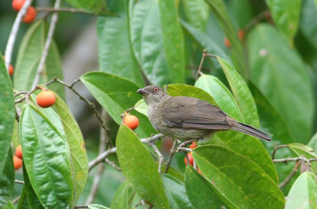 Red-eyed bulbul on Ficus parietalis P Ericsson.jpg
