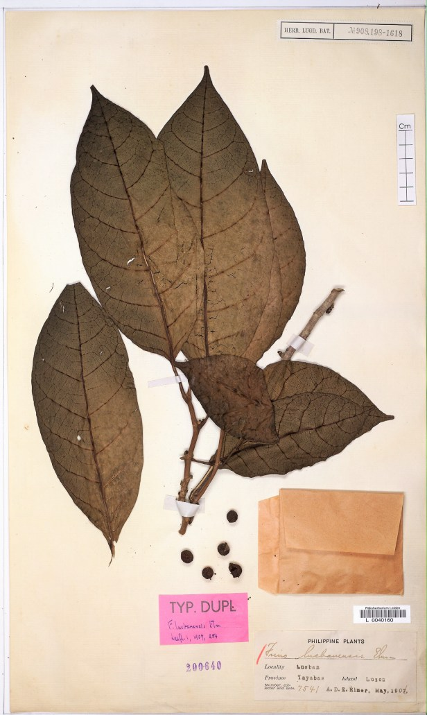 xxx Ficus septica L0040160_HERB - Copy.jpg