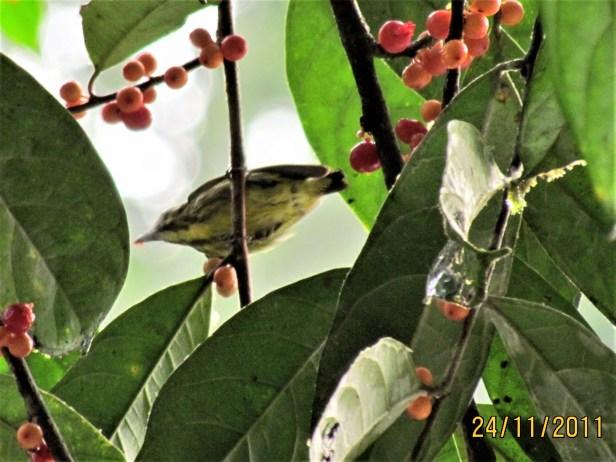 Yellow-breasted Flowerpecker IMG_2665.JPG