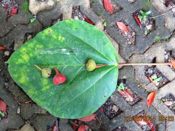 Ficus auriculata Sepilok -05.JPG