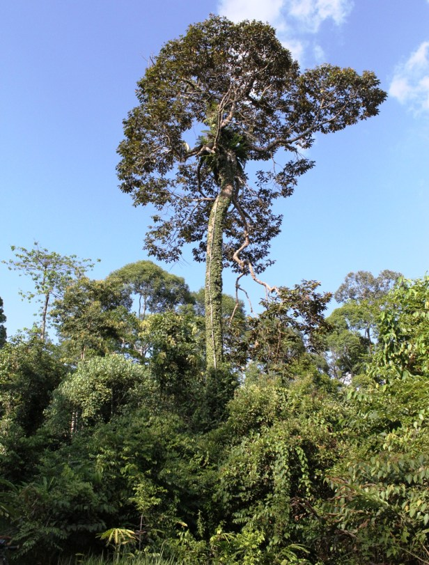Ficus barba-jovis IMG_2606 - Copy.JPG