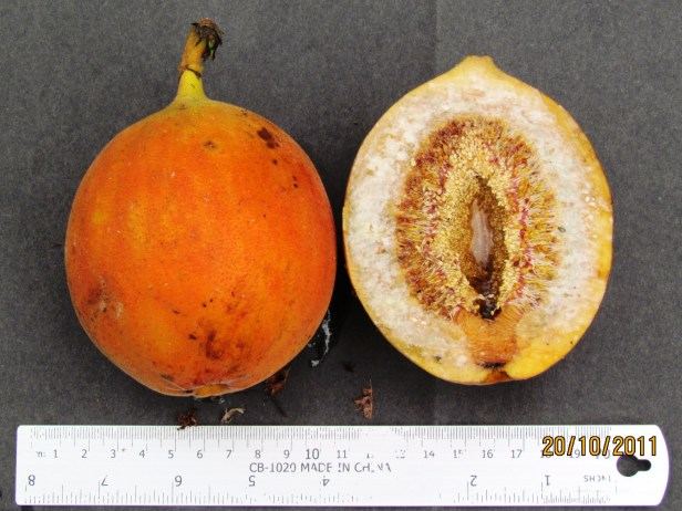 Ficus barba-jovis IMG_4312 - Copy.JPG