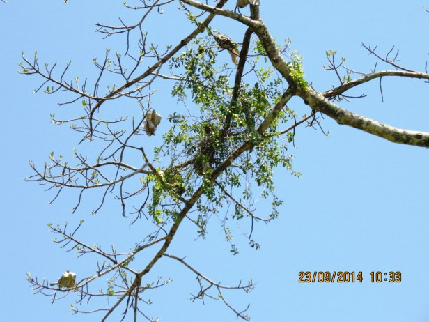 Ficus callosa IMG_0280 - Copy.JPG