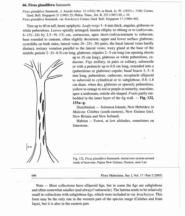 Ficus glandifera.jpg