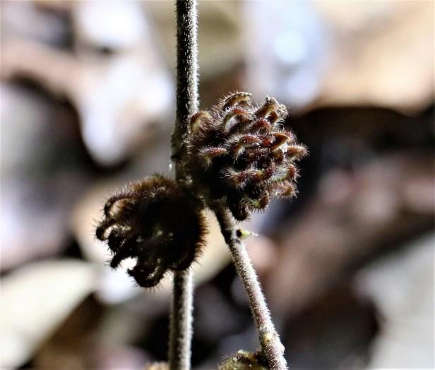 Ficus malayana 3P7A0872.JPG