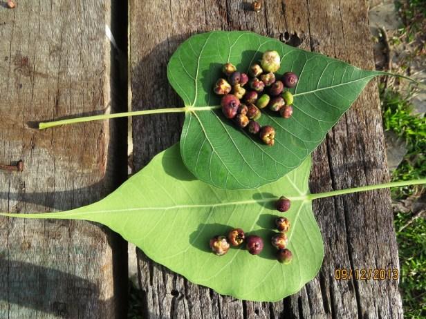 Ficus religiosa IMG_2554 - Copy.JPG