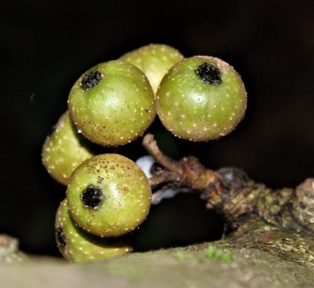 Ficus schwarziiI 2538 - Copy.JPG