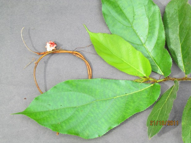 Ficus bukitrayaensis Tabin WR  IMG_4517 - Copy.JPG