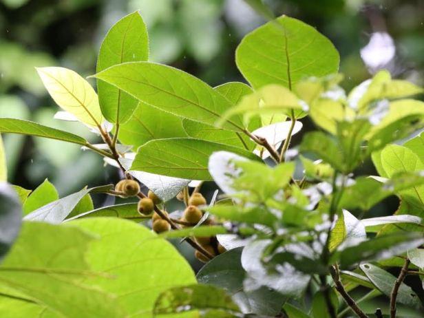 Ficus aurata Bukit Patoi 02  (2).jpg