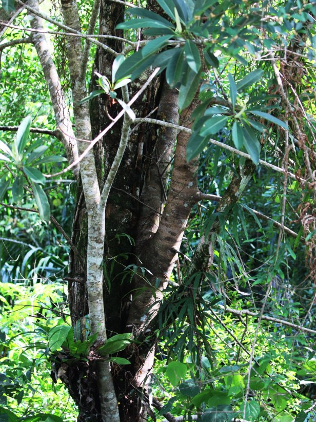 Ficus crassiramea  Bangar Brunei 01 .JPG