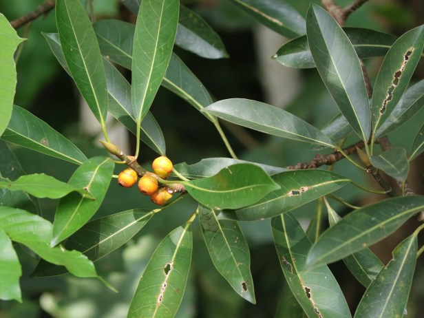 Ficus crassiramea  Bangar Brunei 03 .JPG