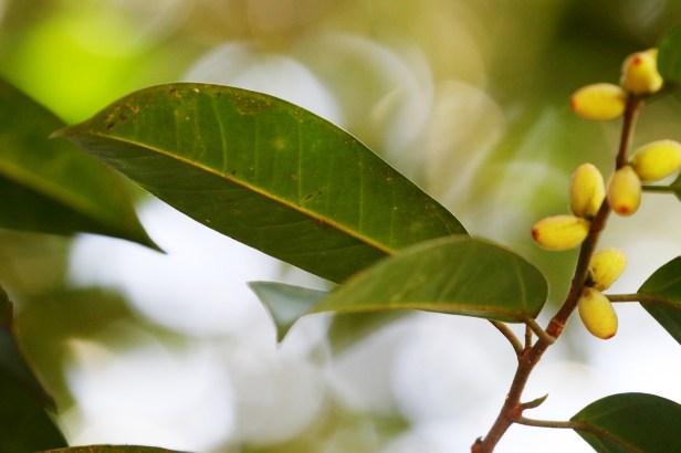 Ficus pellucido punctata Batang Duri 03 Arlene .JPG