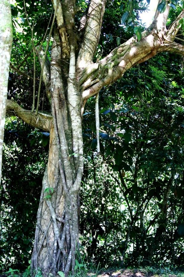 Ficus pellucido punctata Batang Duri 05 Arlene .JPG