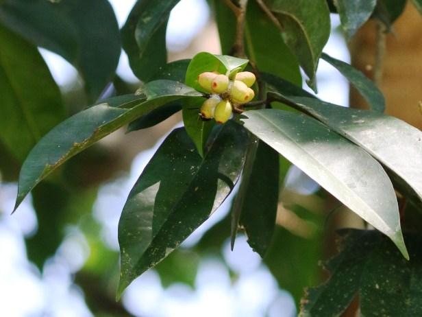 Ficus pellucido punctata Batang Duri 06 Arlene .JPG