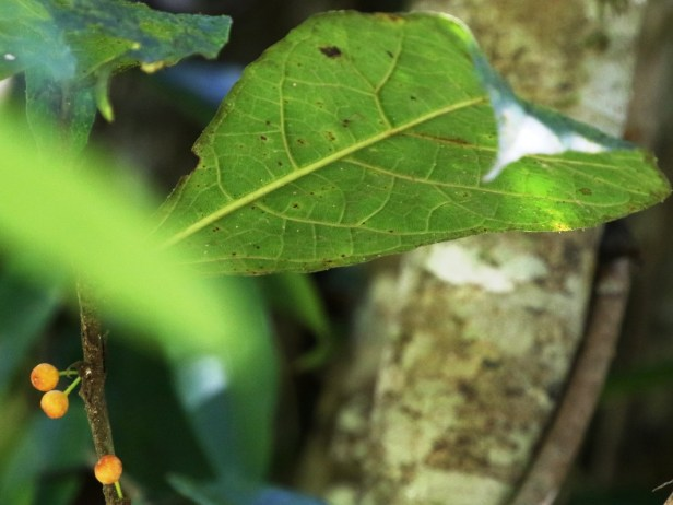 Ficus scabberima Bukit Patoi Arlene 07.JPG