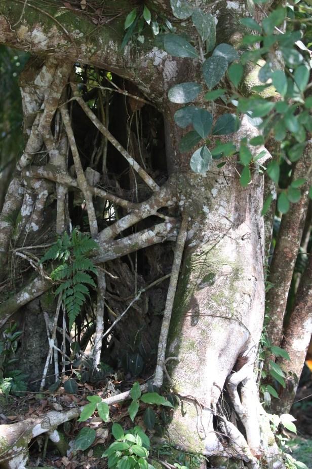 Ficus spathuliifolia Batang Duri Arlene 01.JPG