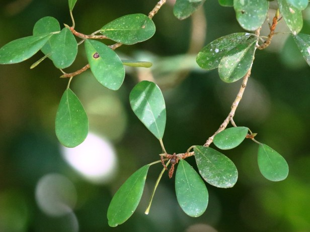 Ficus spathuliifolia Batang Duri Arlene 04.JPG