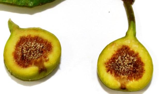 Ficus variegata Bangar Padang Brunei 05.JPG