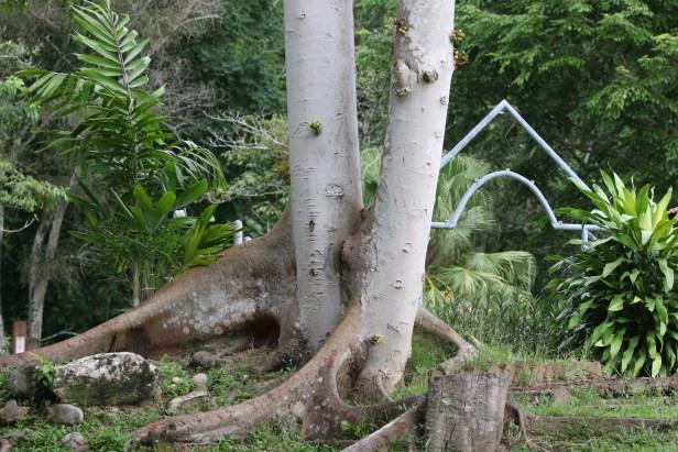Ficus variegata Bangar Padang Brunei 08.JPG