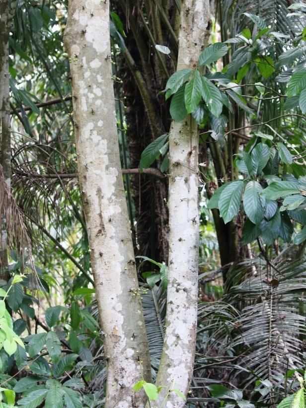 Ficus variegata Semabat Walshe 01 .JPG