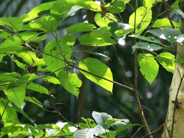 Ficus variegata Semabat Walshe 05.JPG