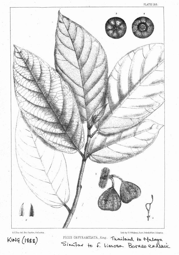 King (1988) Ficus obpyramidata 600 dpi - Enhanced.jpg
