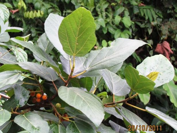 Ficus fulva Poring 01 .JPG