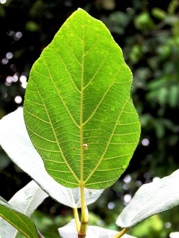 Ficus fulva Poring 02.JPG