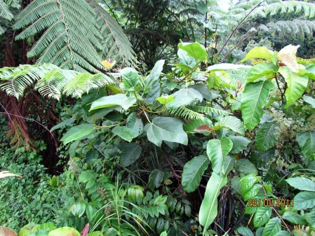 Ficus fulva Poring 04.JPG
