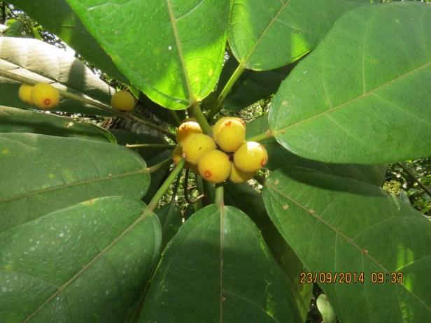 Ficus inaequipetiolata Broad 02.JPG