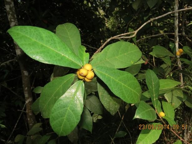 Ficus inaequipetiolata Broad 04.JPG