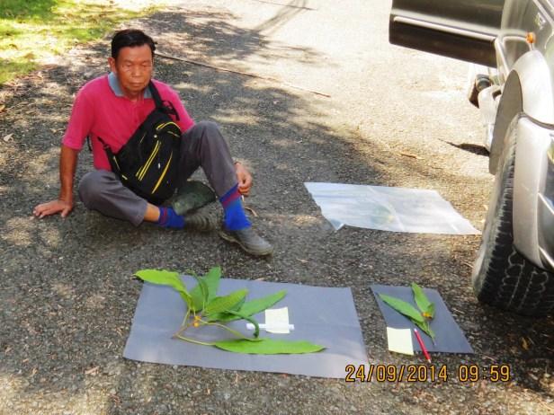Ficus inaequipetiolata  Leila FR 08.JPG