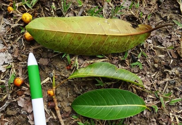 Ficus kerkhovenii Maliau Basin Miyabi.JPG